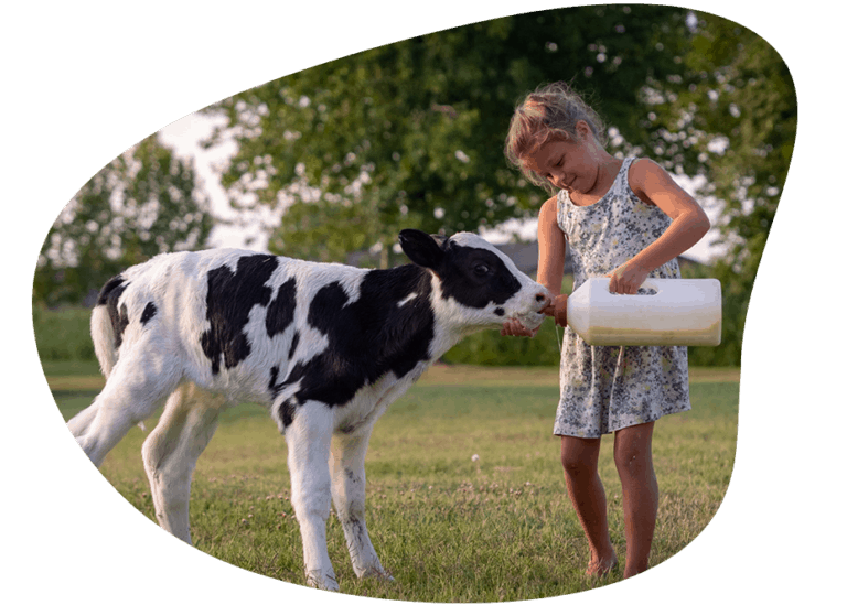 Girl Feeding Calf Photo