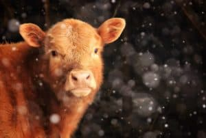 Calf in Winter