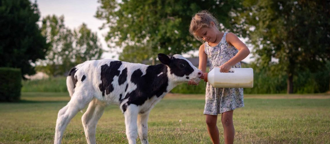 Authentic shot of little girl is feeding from the bottle with dummy an ecologically grown newborn calf used for biological milk products industry on a green lawn of a countryside farm with a sunshine.