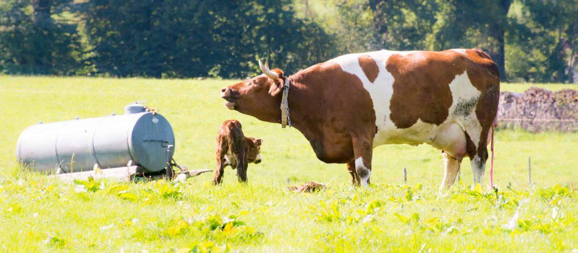 Newborn calf with mother after calving