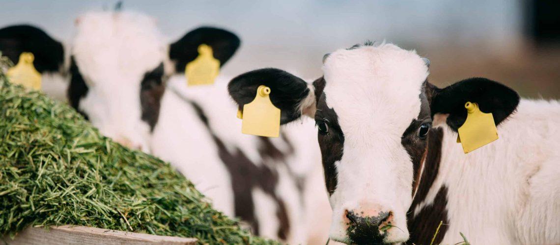 Calf health and ammonia